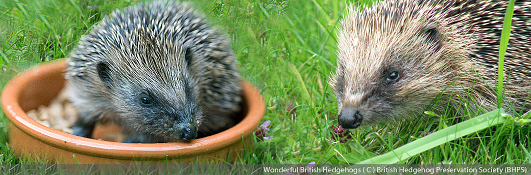 Ways to Help Hedgehogs