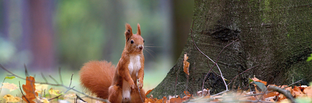 The Main Threats to Red Squirrels